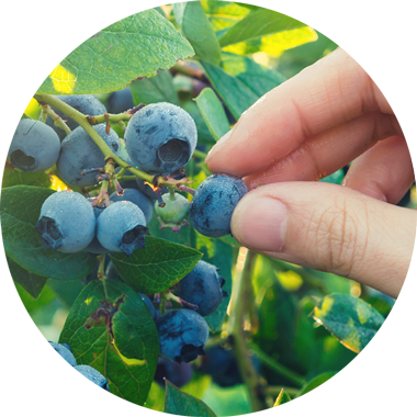 Wild berry extract.