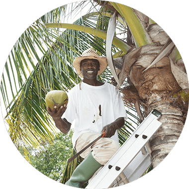 Man in a ladder on the coconut tree with coconut in hand