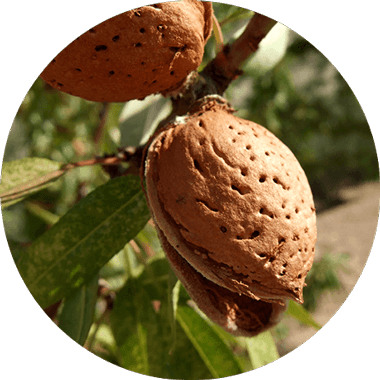 Close-up of almonds on an almond tree